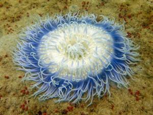 Proteinas-de-las-anemonas-de-mar-cooperan-para-atacar-a-sus-presas_image_380